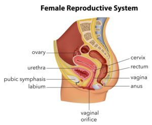 SD Cosmetic - Female Reproductive System Diagram